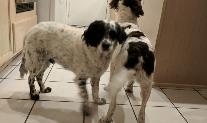 Lancelot Springer Spaniel Rescue Inc 3