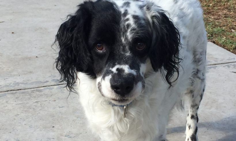 Lancelot Springer Spaniel Rescue Inc