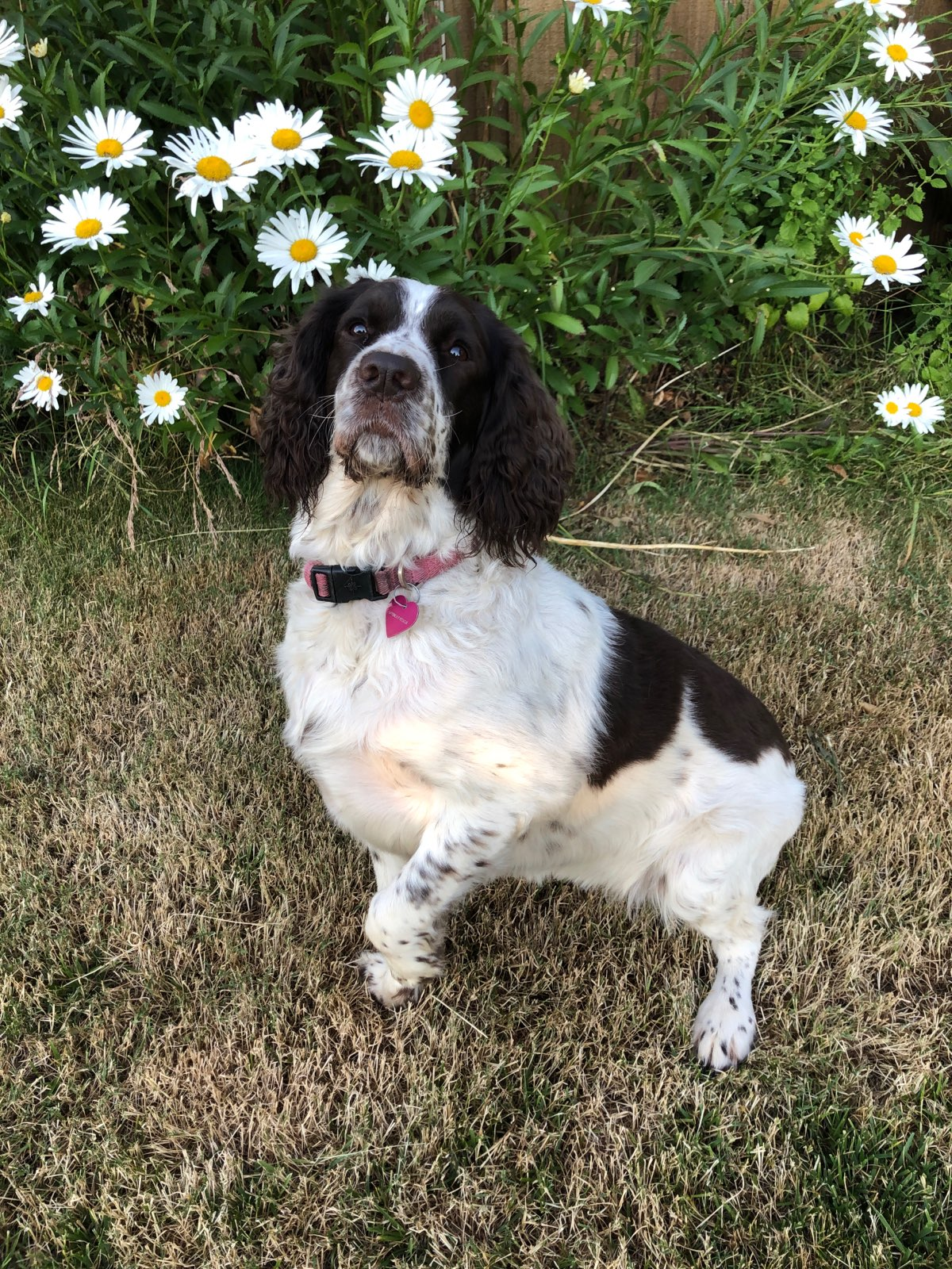 Home - Springer Spaniel Rescue Inc